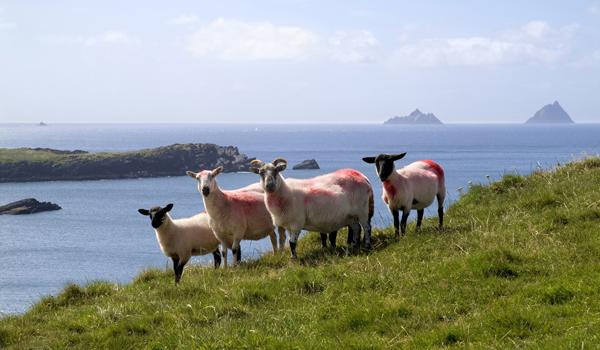 Irish Sheep on the Dramatic Western Coastline