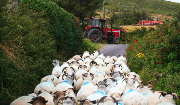 A Traffic Jam in Dingle!