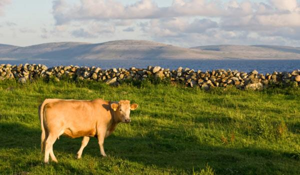 A cow grazes in the Burren