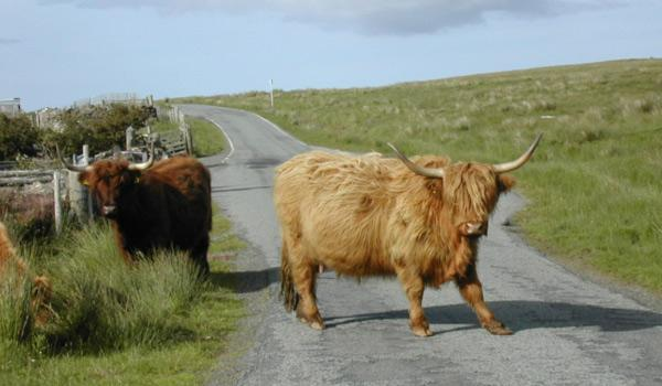 big cattle on road